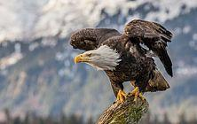 Bald eagle by Andy Morffew_opt