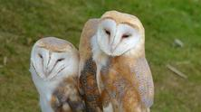 Species - Barn-Owls