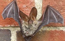 Species - Brown-long-eared-bat