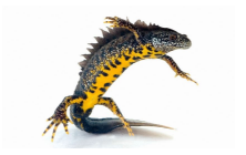 General - great crested newt © twitter