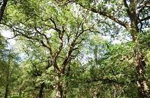 UK oak trees credit James Hutton Institute