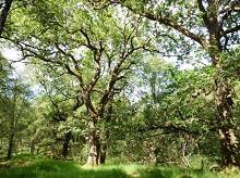 British oak tree credit James Hutton Institute